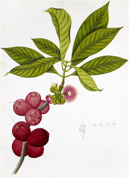ANGLO-INDIAN BOTANICALS