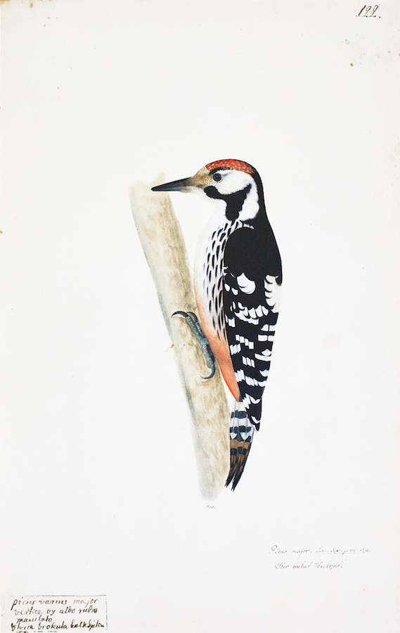 Spotted Woodpecker 2