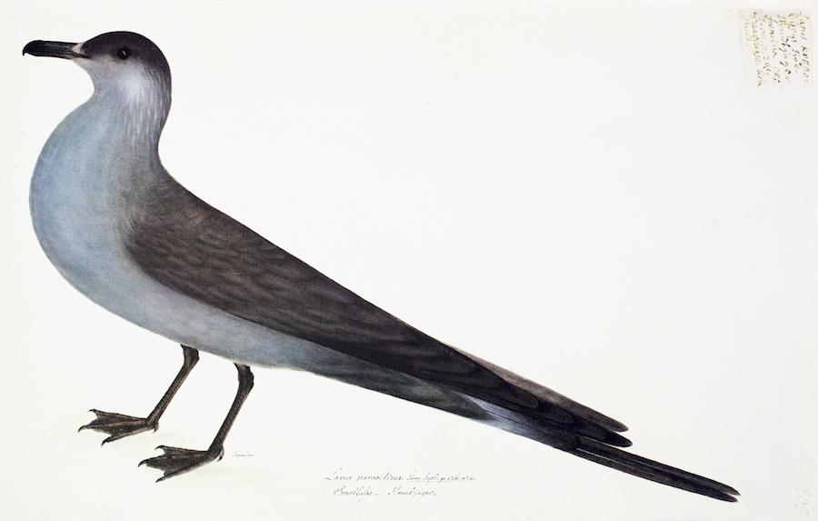 Arctic Gull Blue