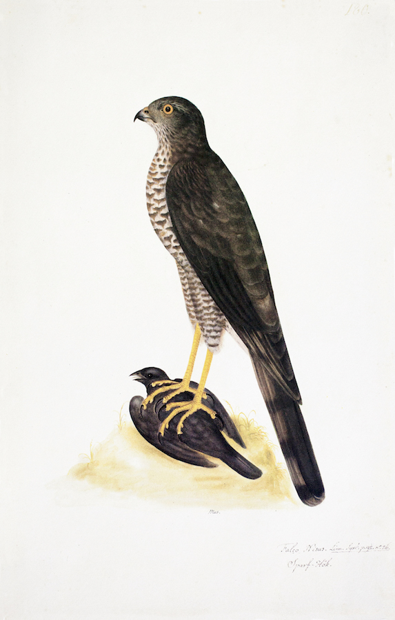 Sparrow Hawk 2