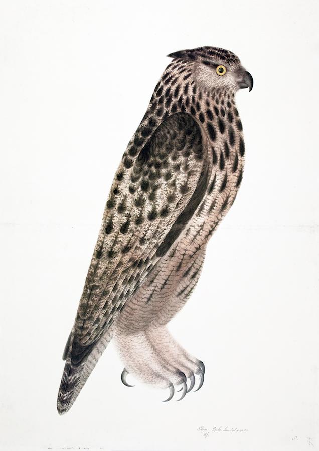 Falcon Owl