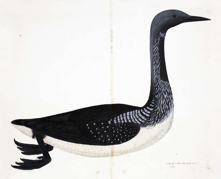 Black Throated Loon