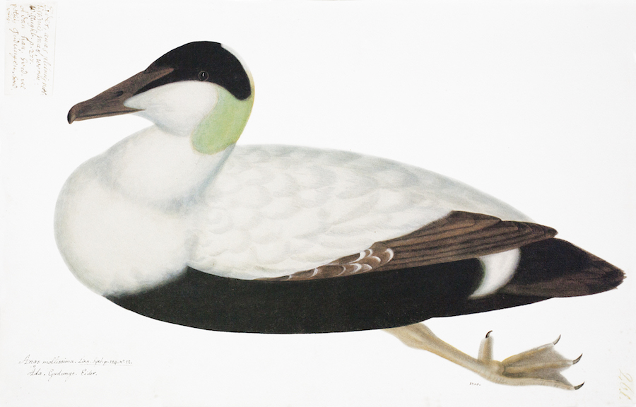 Great Black/White Duck