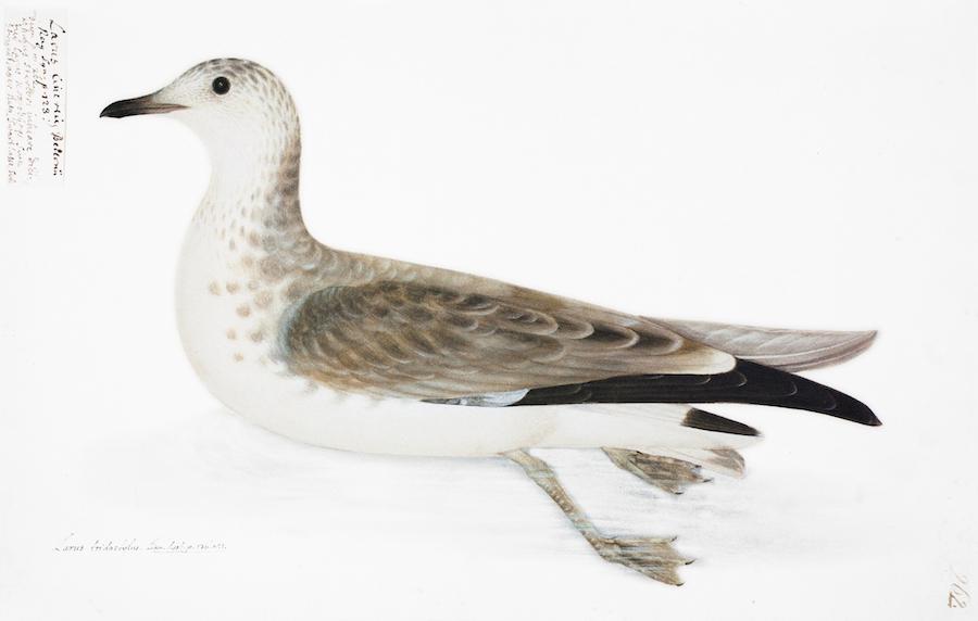 Kittiwake Duck