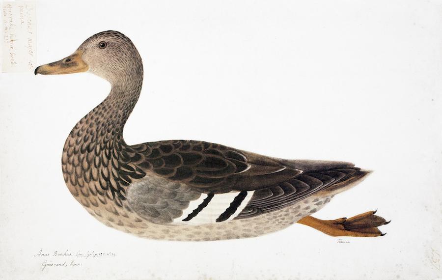 Common Wild Duck