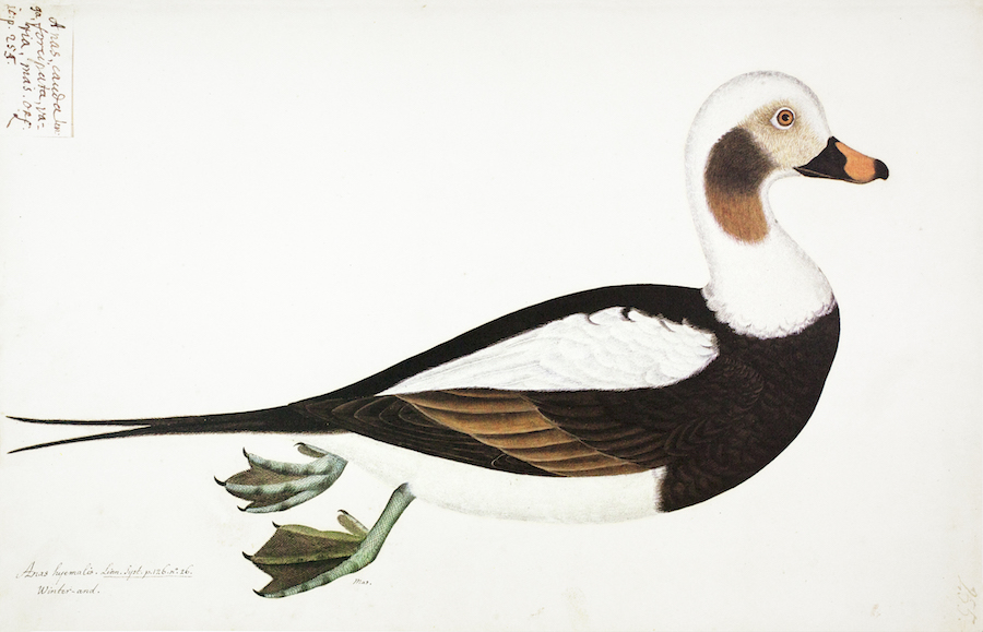 Long-Tailed Duck 2