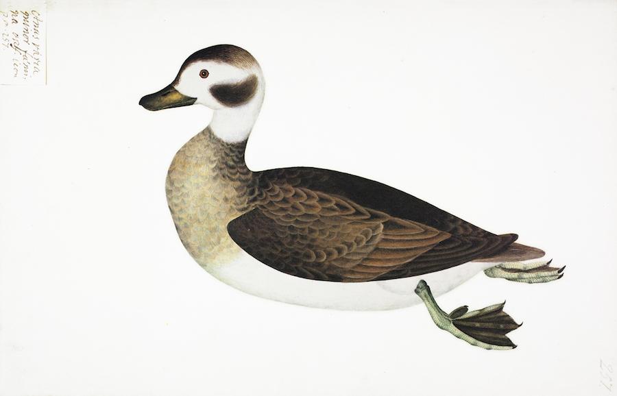 Varia Duck