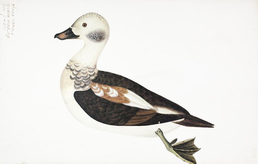 Varia Duck 2