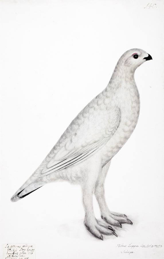 White Ptarmigan