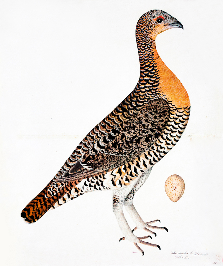 Capercaille Hen