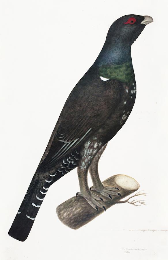 Capercaille Cock