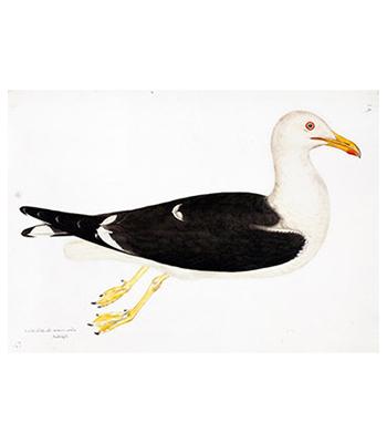 Swedish Ducks
